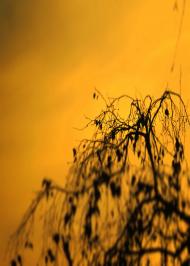 Pnącze drzewa