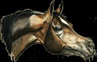 arab koń