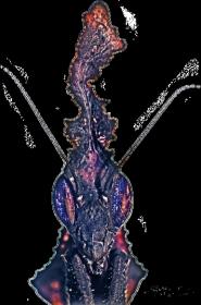 Czarny Kubek Phyllocrania paradoxa