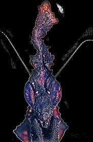Bluza z Phyllocrania paradoxa