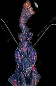 Plakat z Phyllocrania paradoxa