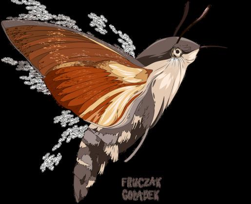 poduszka, owady, motyl, fruczak gołąbek, polski koliber, entomologia