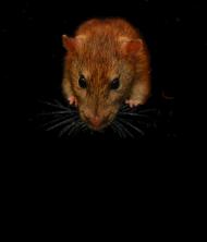 Koszulka Damska moje szczurki jedzą lepiej ode mnie