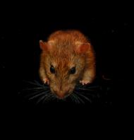 Koszulka Damska Mamo mam szczury