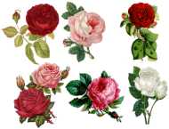 Kubek (Róże5)