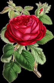 Kubek (Róża3)