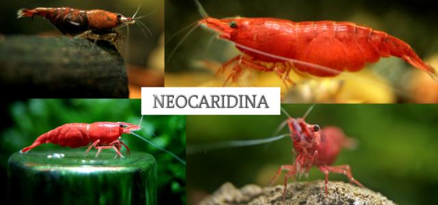 Kubek Neocaridina