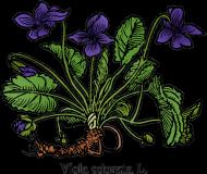 Fiołek wonny (Viola odorata L.) - biała
