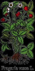 Poziomka pospolita (Fragaria vesca L.) - beżowa
