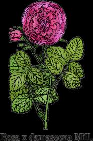 Róża damasceńska (Rosa x damascena Mill.) - beżowa