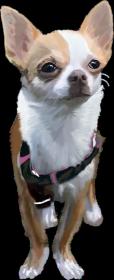 Chihuahua koszulka z Twoim Zwierzakiem
