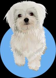 Maltańczyk Twój pies na Plakacie A2