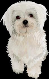 Maltańczyk Twój pies na Torbie