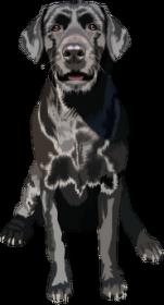 Labrador retriever Sabina